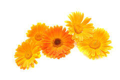 Flowers of a calendula Royalty Free Stock Photos