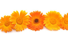 Flowers of a calendula Royalty Free Stock Photo