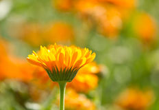 Flowers of calendula. On blossom Royalty Free Stock Photo