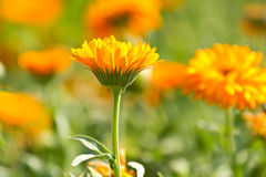 Flowers of calendula on blossom Stock Photo
