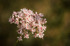 Flowers of California Buckwheat Royalty Free Stock Image