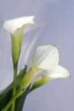 Flowers calla. Lily in close up Stock Image