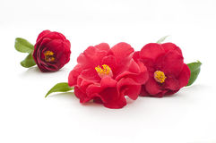 Flowers of camellia. On white background Royalty Free Stock Image