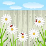 Flowers of camomile on a background a wooden fence Royalty Free Stock Image
