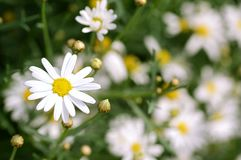 flowers camomile stock video footage