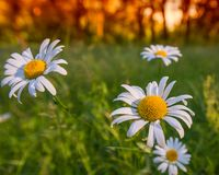 FLOWERS CAMOMILE MEADOW ON THE MISSED GREEN BACKGROUND Stock Photo