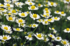 Flowers of camomile medicinal Royalty Free Stock Image