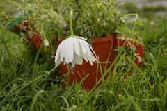 Flowers and the camomile in the red can Stock Photography