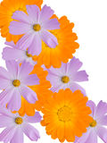 Flowers of a camomile with yellow violet petals Royalty Free Stock Photos