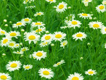 Flowers  camomiles Royalty Free Stock Images