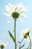 Flowers  camomiles  sky Stock Photo