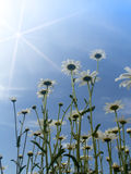 Flowers  camomiles  sun Royalty Free Stock Images