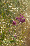 Flowers of canarian sage Stock Photos