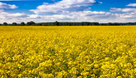 Flowers of canola on the field Stock Photography