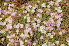 Flowers from the Cape of Good Hope Royalty Free Stock Photo