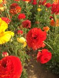 Flowers of Carlsbad Stock Image