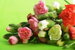 Flowers carnation Stock Photo
