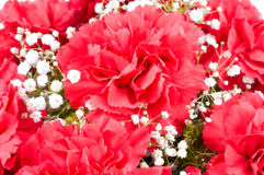 Flowers of carnations Stock Photo