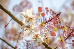 Flowers of Cassia bakeriana or common name Horse Cassia, Pink Cassia , Pink Shower or Wishing Tree. Flowers of Cassia bakeriana or common name Horse Cassia stock images