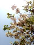 Flowers of Cassia bakeriana Craib. thailnad Royalty Free Stock Photography