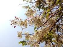 Flowers of Cassia bakeriana Craib. thailnad Royalty Free Stock Images