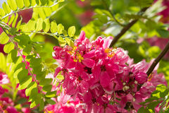 Flowers of Cassia javanica (Apple Blossom Tree, Pink and White Shower Tree) Royalty Free Stock Image