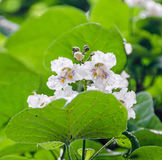 Flowers of Catalpa bignonioides. Common names include southern catalpa. Cigar tree, and Indian bean tree Royalty Free Stock Photos