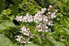 Flowers of catalpa Stock Images