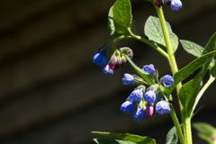 Flowers on Caucasian comfrey stock photography