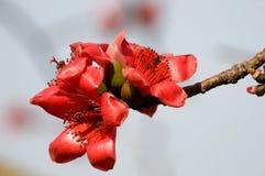 Flowers of ceiba. The flowers of ceiba tree, crimson kapok flowers Royalty Free Stock Image