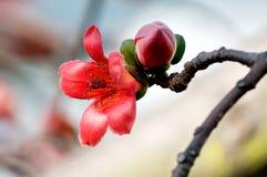 Flowers of ceiba. The flowers of ceiba tree, crimson kapok flowers Stock Photos