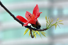 Flowers of ceiba. The flowers of ceiba tree is so beautiful when spring is coming Royalty Free Stock Images