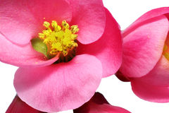 Flowers of Chaenomeles Japonica (Japanese Quince) blossoming.  I Royalty Free Stock Image