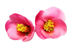 Flowers of Chaenomeles Japonica (Japanese Quince) blossoming.  I Royalty Free Stock Photo