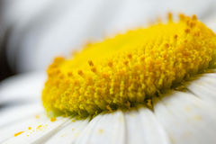 Flowers chamomile, camomile Stock Photography