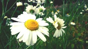Chamomile flower in the garden royalty free stock images