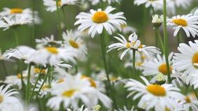 Flowers of chamomiles, chamomile garden
