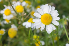 Flowers of chamomilla. In a park royalty free stock image