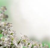 Flowers cherry Stock Image