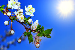 Flowers of cherry Stock Photography