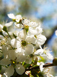 Flowers  cherry Royalty Free Stock Image