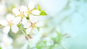 Flowers of cherry blossom in the soft pink light, sacura with bokeh and filters, floral background. Long width banner.  royalty free stock photos