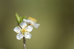Flowers of the cherry blossoms. Stock Photography
