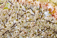 Flowers of the cherry blossoms background Royalty Free Stock Photography