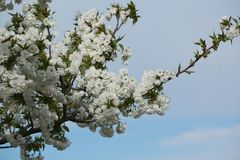 Cherry blossoms on branches at spring. Flowers of the cherry blossoms on branches at spring against blue sky Royalty Free Stock Photos
