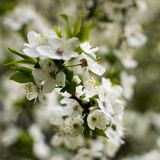 Spring flowering: branches of flowering apple or cherry in the park. White flowers of an apple tree or cherry on a stock images