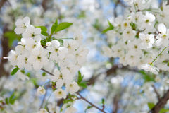 Flowers of the cherry blossoms Royalty Free Stock Photo