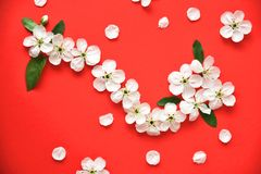 Flowers of the cherry blossoms on a red background close-up. stock images
