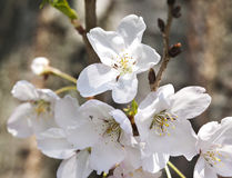 Flowers of the cherry blossoms. Stock Photos