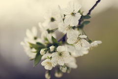 Flowers of the cherry blossoms Royalty Free Stock Image